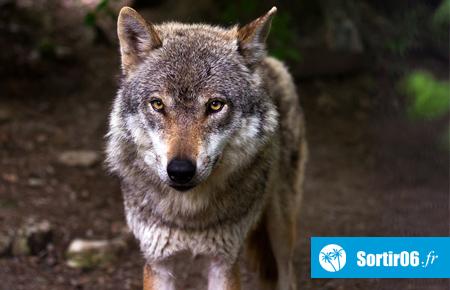 Parc Alpha, Les loups du Mercantour