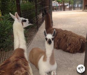 Lamas - Kid's island - Antibes